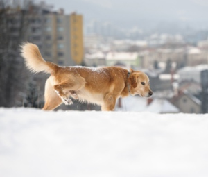 Dog-peeing-in-snow-iStock_000028196328-335lc012914
